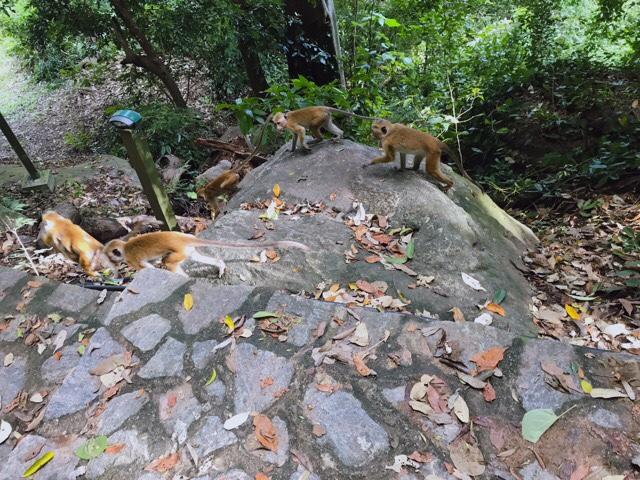 Sri Lanka Jasmine Tours & Drivers  スリランカジャスミンツアーズ撮影 ヤーパフワの猿その2