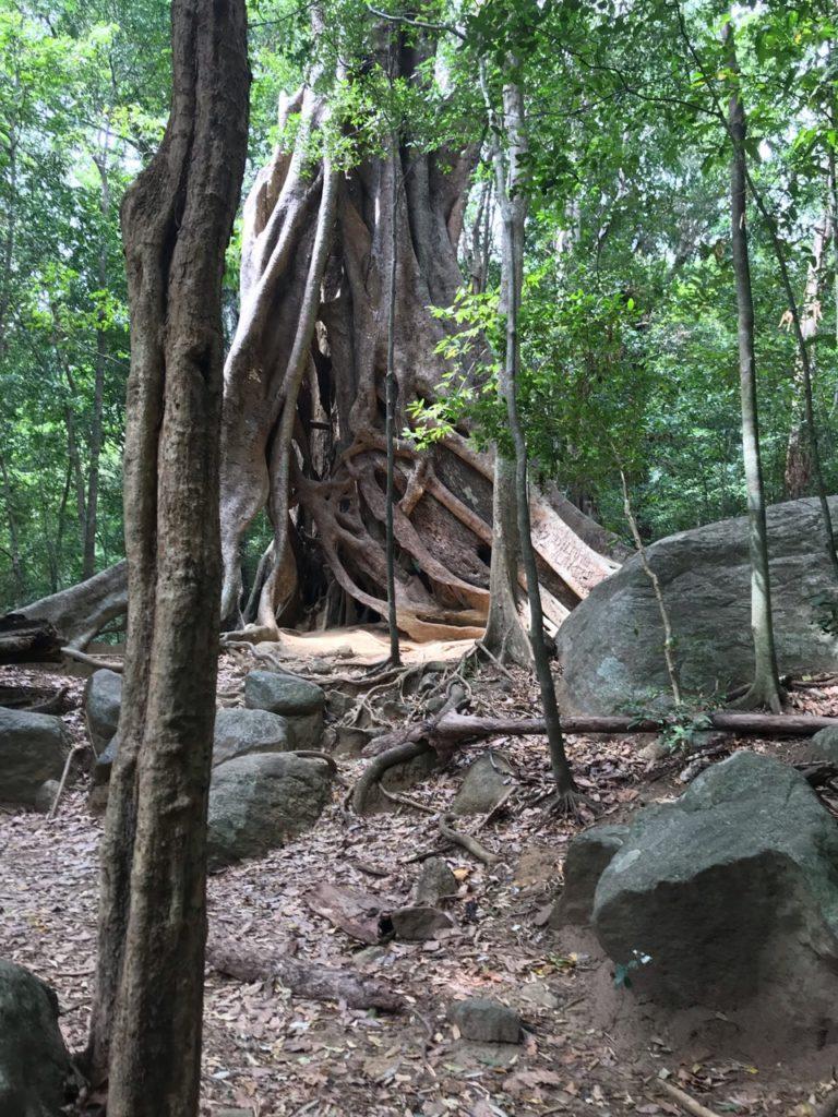 Sri Lanka Jasmine Tours & Drivers スリランカジャスミンツアーズ撮影。リティガラ遺跡のガジュマルの木 ジャングル